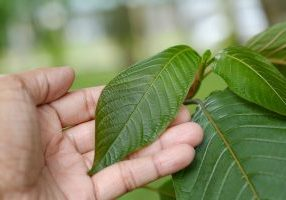 touching kratom leaves