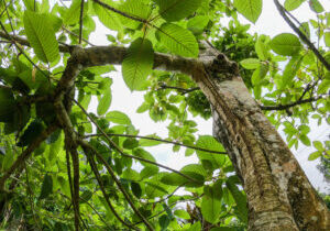 looking up into tall kratom tree