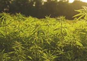 industrial hemp plants